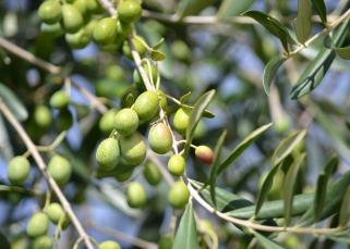 olives-886880_1280
